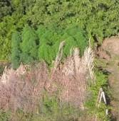Colonna, Carabinieri in elicottero scoprono 100 piante di marijuana