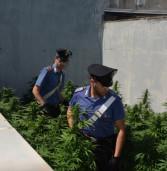 Roma, trovate 186 piante di marijuana su un tetto