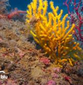 Anzio, i subacquei di Lineablu filmano la Gorgonia gialla