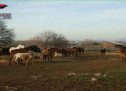 Roma, scoperto allevamento-lager di equini. Denunciato un 65enne