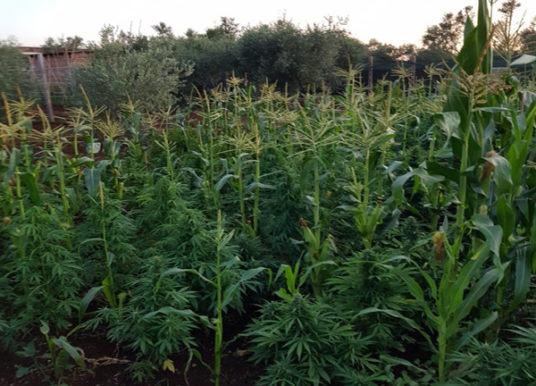 Lanuvio, arrestato 67enne per coltivazione di marijuana